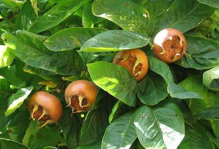 Mispeln – Was sind das für Früchte?