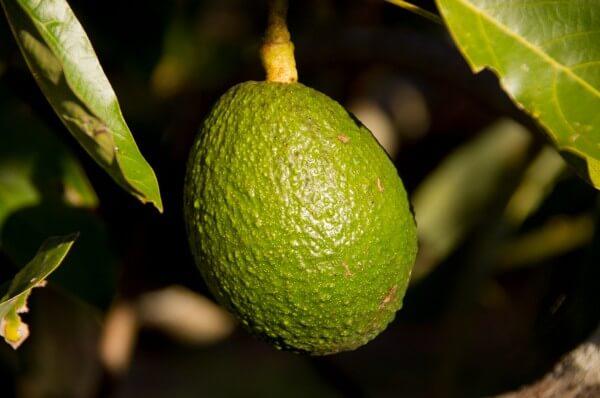 Avocadokern einpflanzen
