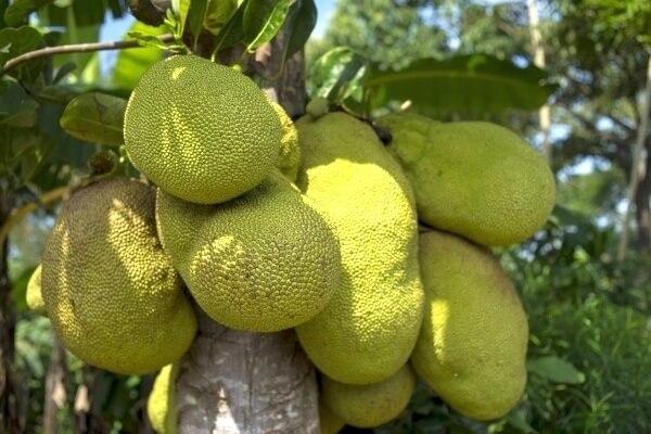 Jackfrucht Fleischersatz – die unreife Riesenfrucht