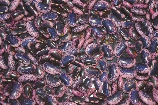 Feuerbohnen: Mit ihren rotbraunen Farben und schwarzen Flecken erinnern sie eher an kleine Käfer!