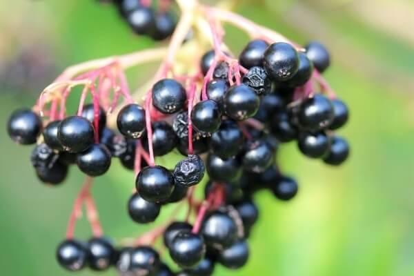Eine Beere mit der man vieles zubereiten kann: Fliederbeerenmus, Marmelade, Sirup und noch vieles mehr!